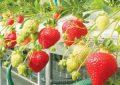 پرورش توت فرنگی در منزل ؛ آنچه باید برای کاشت، رشد و برداشت توت فرنگی بدانید